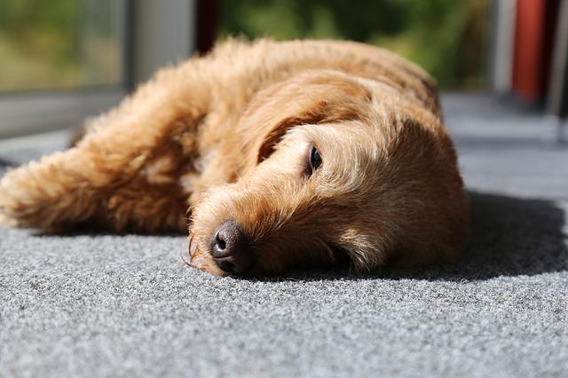 犬が仰向けで寝るのはどういう意味?