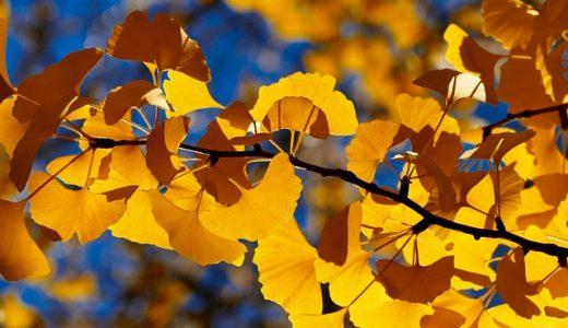 明治神宮外苑のいちょう並木の見ごろやいちょう祭りの詳細とアクセス情報