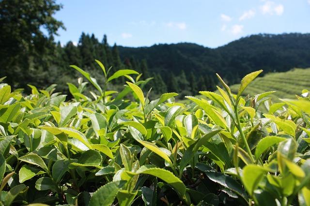 風邪の予防には緑茶うがいがおすすめ!