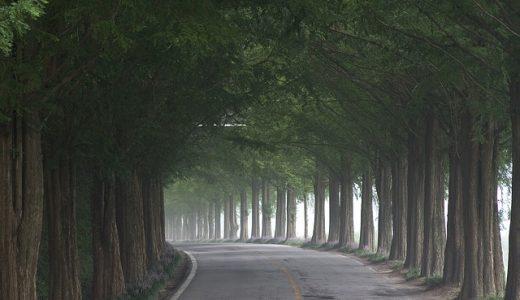 メタセコイア並木の紅葉の見頃はいつ?情報とアクセス